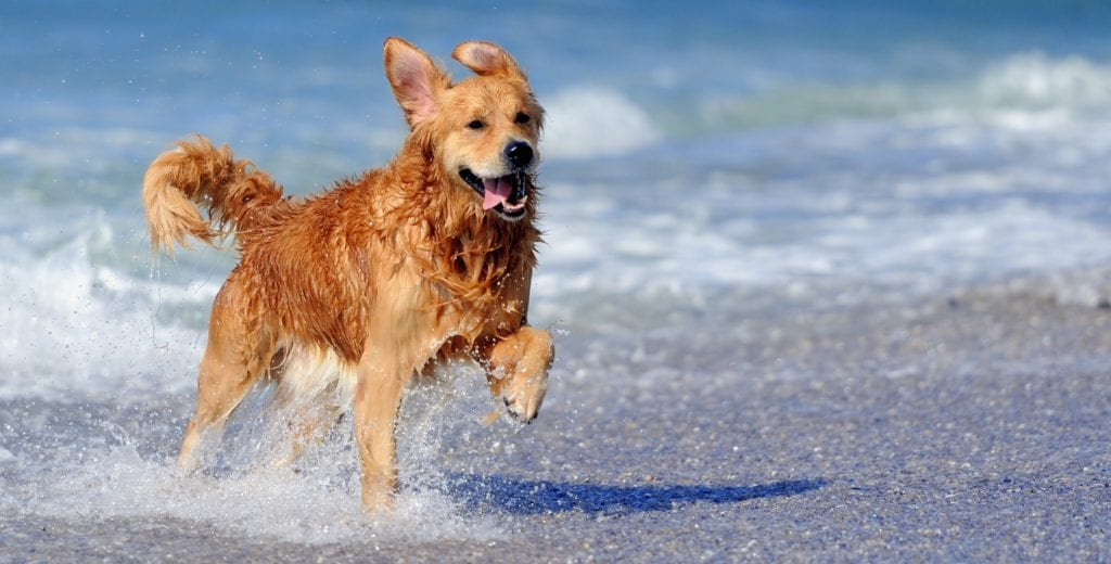 Gos corre a la platja