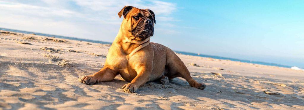 perro bulldog tumbado en la playa
