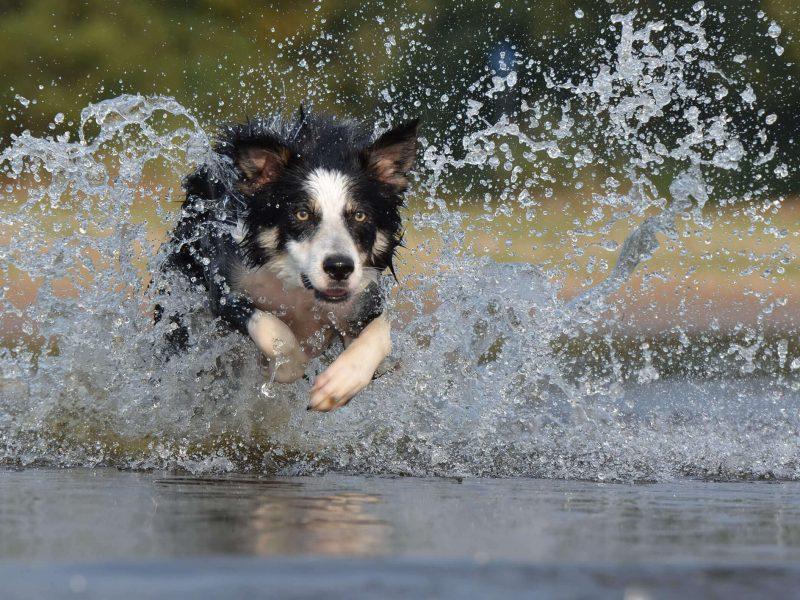 perro-border-collie-corre-en-agua-min